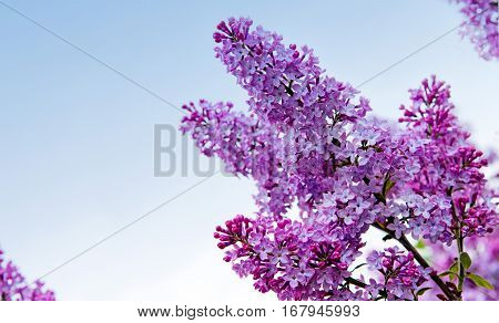 Close-up beautiful lilac flowers. Lilac on the blue background. Branch with spring lilac flowers.