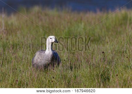 Patagonian Goose, Birds, Animals