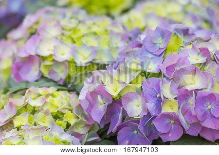 Hydrangea Flower In Garden