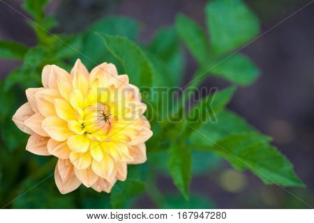 Dahlia orange and yellow flower in garden full bloom