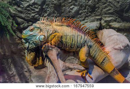 close big iguana basking on a rock