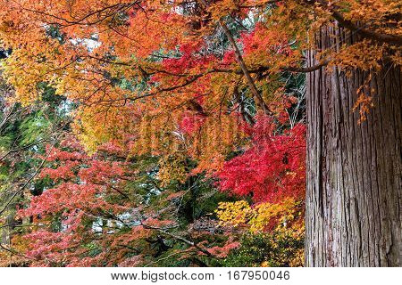 Colorful of maple leaves and giant tree in autumn.