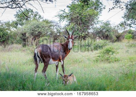 Bontebok ( Damaliscus pygargus ) and calf