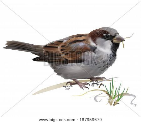 Sparrow - Passer domesticus. Hand drawn vector illustration of a male house sparrow picking grass for building nest on white background.