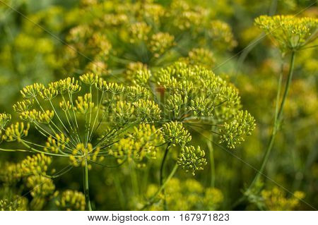 fennel blooming in a summer coutryside garden
