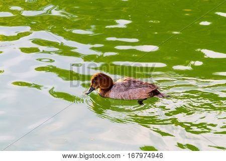 teal Dabbling duck in the pond with at Fukuoka Ohori Park Japan
