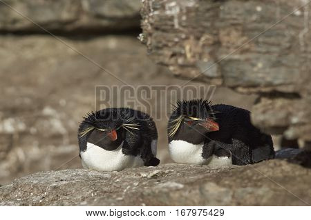 Pair of Rockhopper Penguins (Eudyptes chrysocome) resting on the cliffs of Bleaker Island in the Falkland Islands