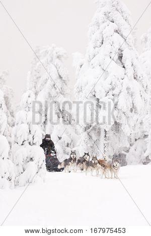 sledge dogging, Czech Republic