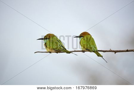 Two green birds on the branch