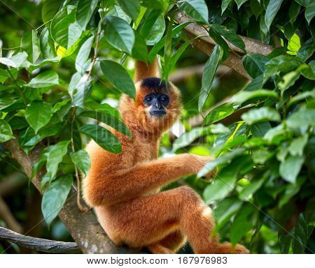 Yellow-cheeked gibbon on the tree