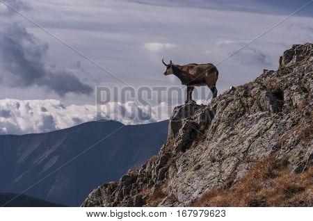 Tatra chamois in the natural environment .