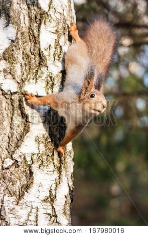 Red squirrel sitting on the birch tree in forest