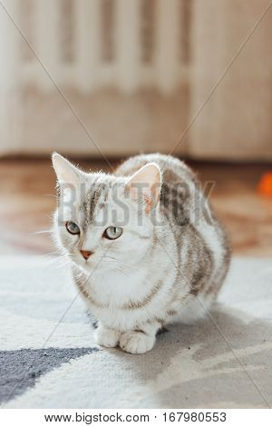 Beautiful Cat - Scottish Straight Breed Is Sitting On The Floor On A Cat Carpet.
