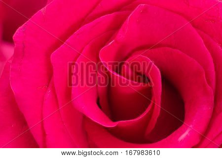 Closeup Of Red Rose Petals, Abstract Background.
