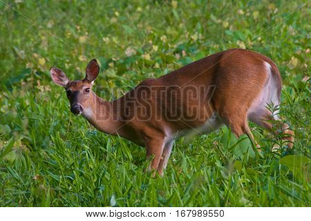 A surprised deer by the intruder in the meadow