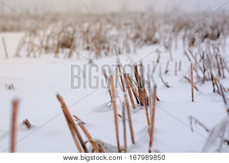Frozen field of stubble under the snow cover