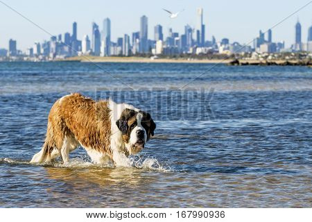St Bernard dog splashing at the beach.  Skyline of Melbourne, Australia behind, viewed from Brighton Dog Beach.