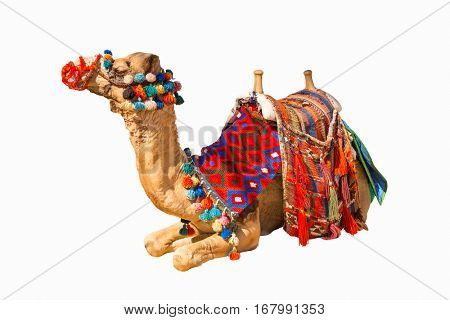 Egyptian decorated camel with saddle isolated on white
