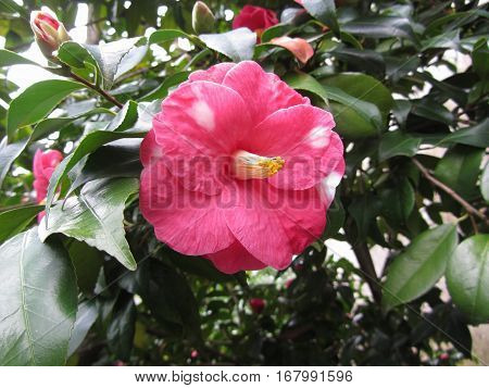 Single red spotted white flower of Camellia japonica Marmorata