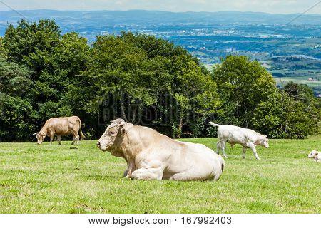 herd of cows, Rhone-Alpes, France
