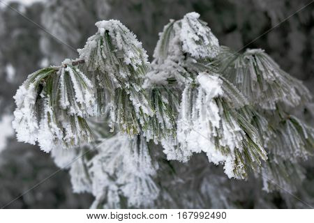 Snow Covered Pine Tree Branches