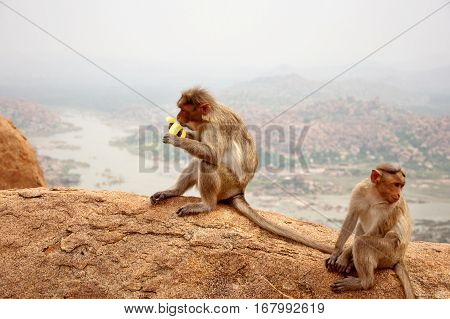 Monkey sitting and eats a banana near Hanuman Monkey Temple in Hampi Karnataka India
