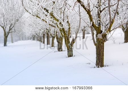 Peach Orchard Covered With Snow
