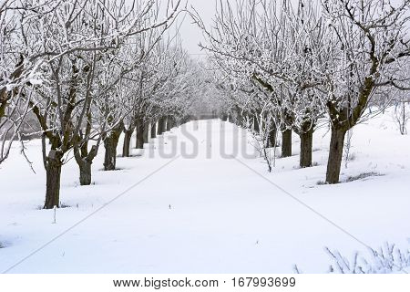 Peach Orchard Covered With Snow In Winter,shallow Dof