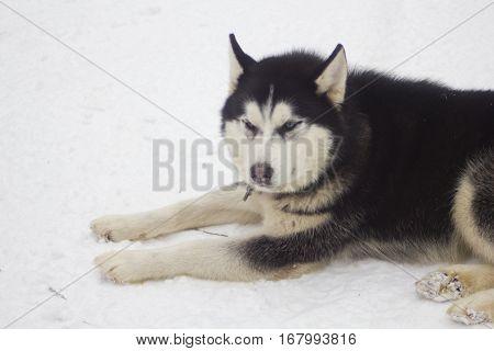 Single husky black and white dog lying on snow