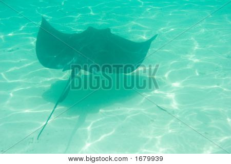 A sting ray swims along the ocean floor poster