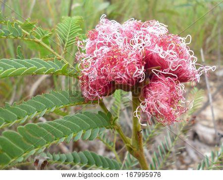 Flor do cerrado Mineiro. Esta flor estava em meio a vegetação completamente seca dentro do Parque da Serra da Canastra.
