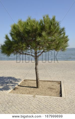 Tree in path next to the river Tagus in LIsbon Portugal