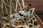 Young giraffe eating some plants in in front of brown background poster