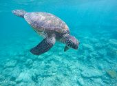 Sea tortoise in blue water. Olive green turtle in tropical sea. Snorkeling in Philippines. Snorkeling with turtle. Philippines marine fauna. Ecosystem of Philippines tropical island. Exotic sea animal poster