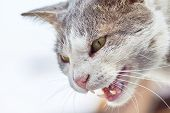 Closeup of angry cat while hissing and showing teeth. Copy space poster