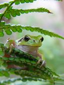 A tree frog on a fern nature poster
