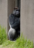 A portrait of a sick silverback lowland gorilla in a zoo poster
