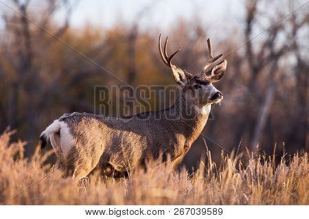 Mule Deer Buck Watching The Sunrise - Wild Deer In The Colorado Great Outdoors