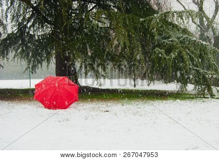 One Umbrella In Contrast With The Snow And Green Cedrus Deodara
