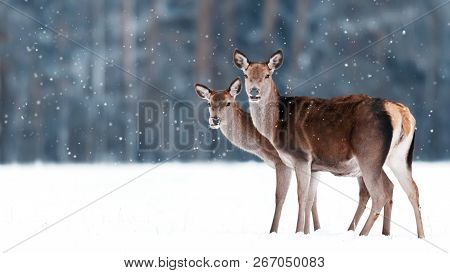 Group Of Beautiful Female Graceful Deer On The Background Of A Snowy Winter Forest. Noble Deer (cerv