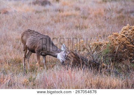 Juvenile Mule Deer Buck Honing His Antlers - Wild Deer In The Colorado Great Outdoors