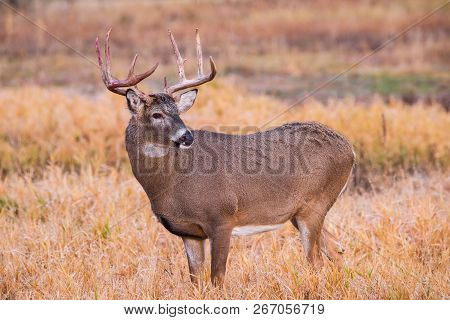 Wild Deer In The Colorado Great Outdoors - White-tailed Buck Following A Rutting Battle