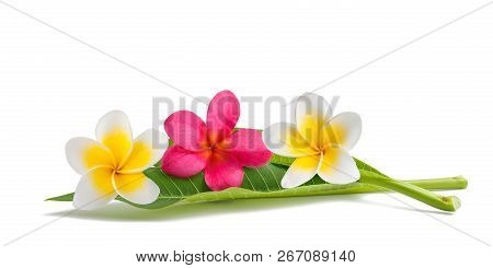 Red And White Frangipani Flowers With Leaves Isolated On White