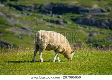 Sheep On The Lofoten Islands In Norway.