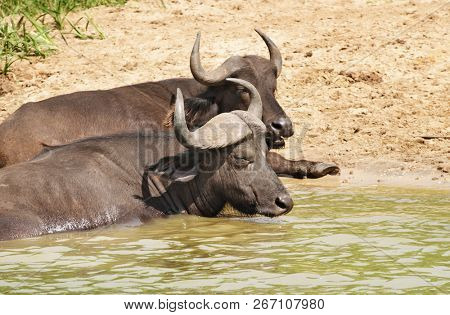 Buffaloes in a water, Kazinga Channel in Queen Elizabeth National Park, Uganda