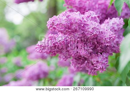 Spring Bright Horizontal Background With Blooming Pink Lilac Flowers And Fresh Green Leaves And Bran