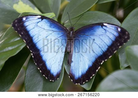 Macro Of A Black And Blue Butterfly Sitting On A Green Leaf