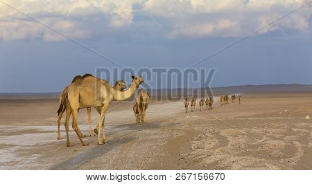 Row Of Camels Walking Along A Road At Sunset In The Desert