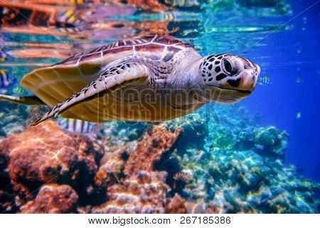 Sea turtle swims under water on the background of coral reefs. Maldives Indian Ocean coral reef.