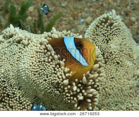 Red Sea Anemonefish in Haddon's Anemone